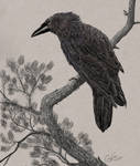 Western Raven