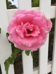 Pink Rose [1] by ThePix