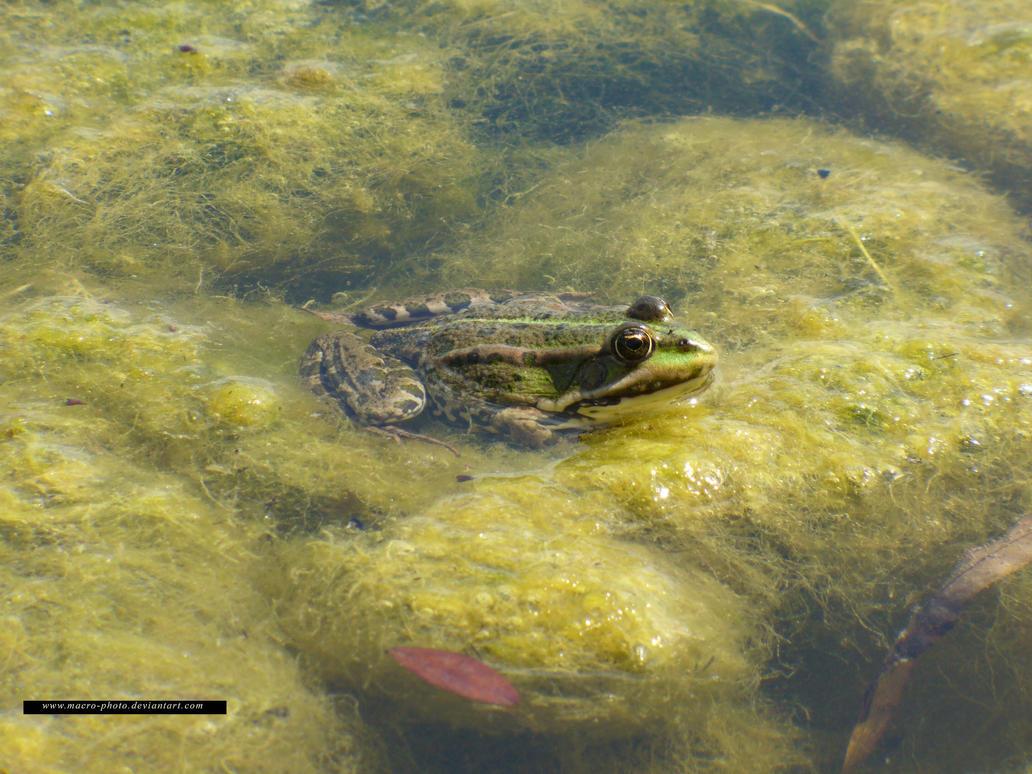 Frog 1 by macro-photo