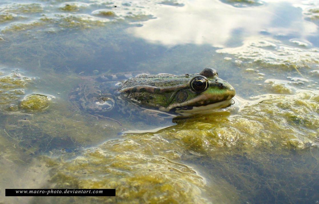Frog 2 by macro-photo