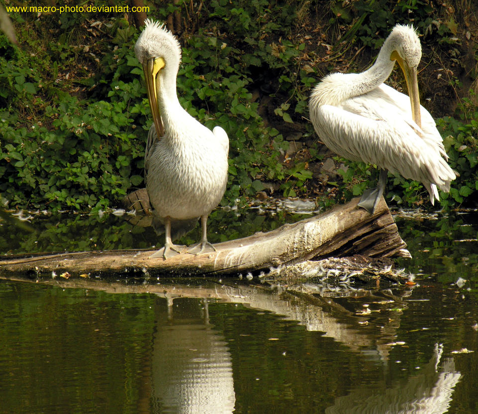 Pelican by macro-photo
