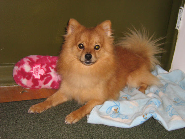 Pomeranian Chihuahua Mix By Rayraynay On Deviantart