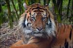 Sumatran Tiger 11