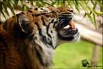 Sumatran Tiger 12