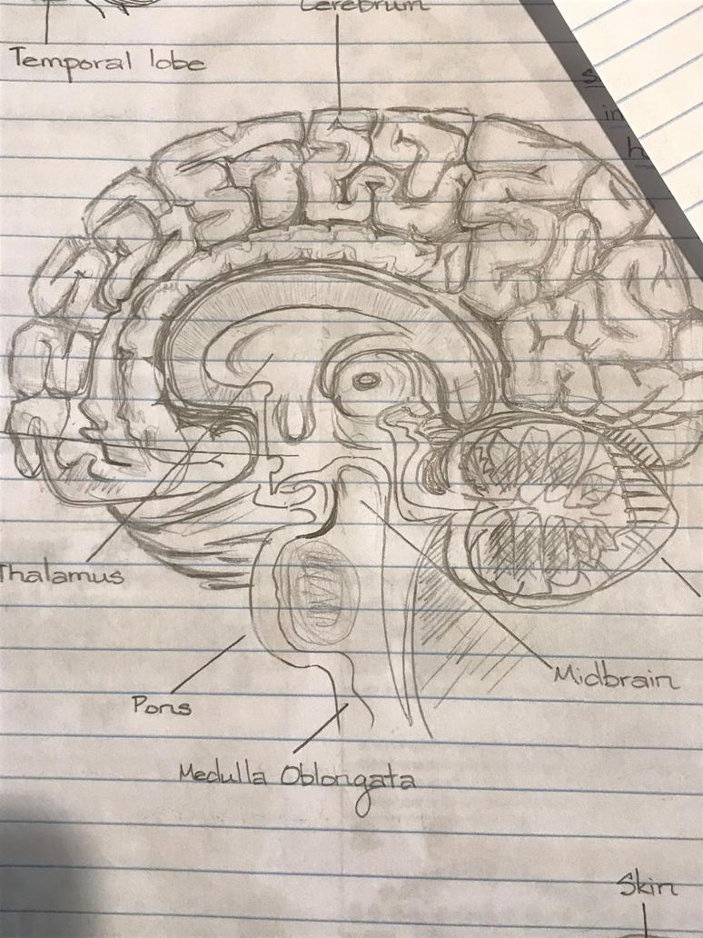 Rough Sketch of Sagittal view of Brain by Zekk712 on DeviantArt