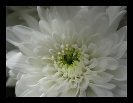 little white petals