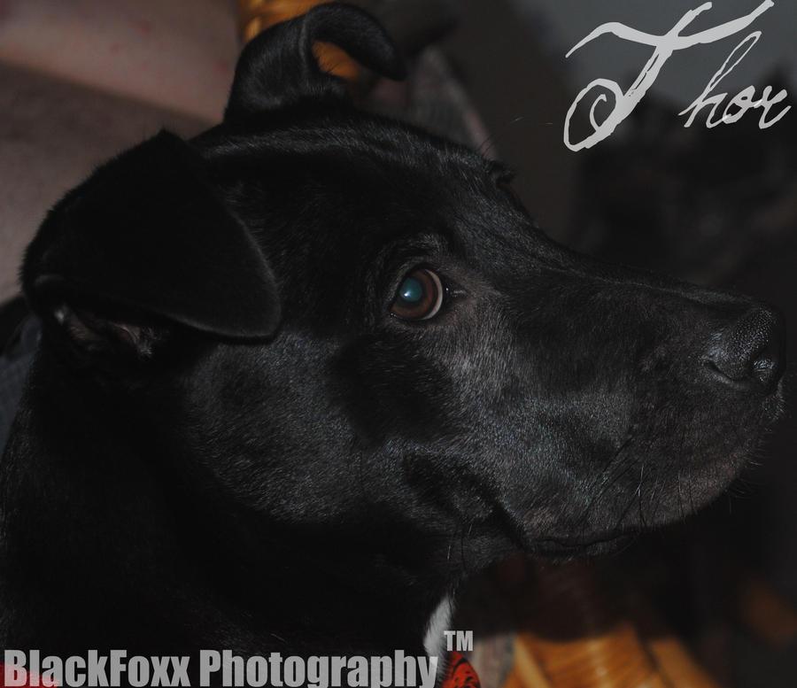 my puppy Thor by dakotann4