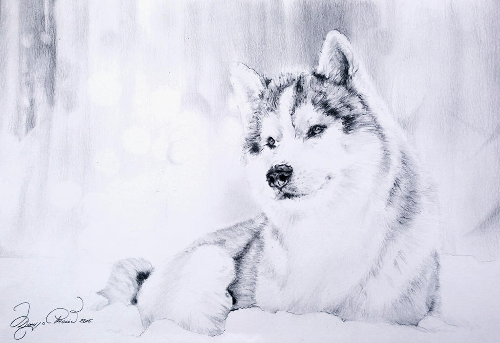 Husky by Darija91