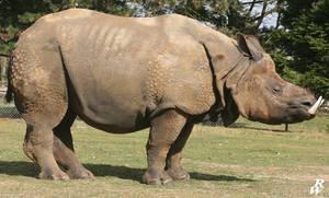 Ancient rhino