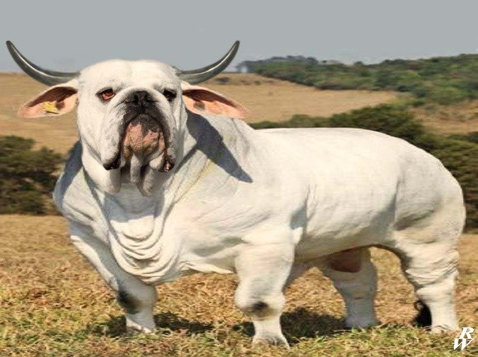 Wrecking Bull son.....every litter he throws screw/kinked tails ...