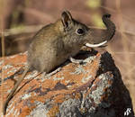 Elephant shrew