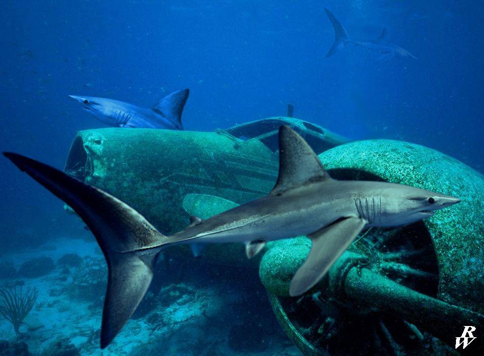 Dwarf lantern shark teeth - photo#25