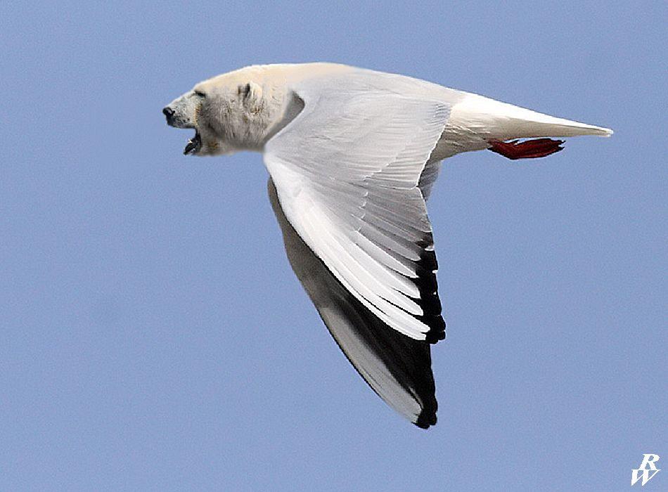 Polar gull