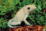 Beluga frog