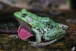 Anolis frog