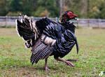 Muscovy turkey