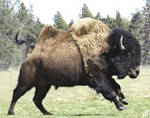 Bactrian bison