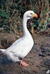 Bald goose