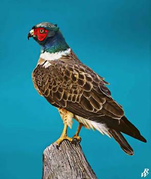 Ring-necked hawk