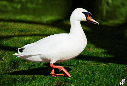 Pygmy swan