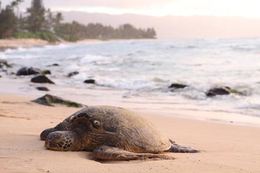 Anouk Govil - turtle