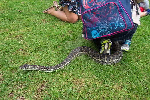 Coastal Carpet Python 6