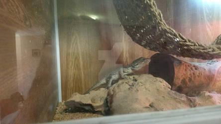 Pigmy Western Bearded Dragon 2