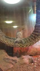 Pigmy Western Bearded Dragon 3