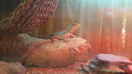 Pigmy Western Bearded Dragon 5