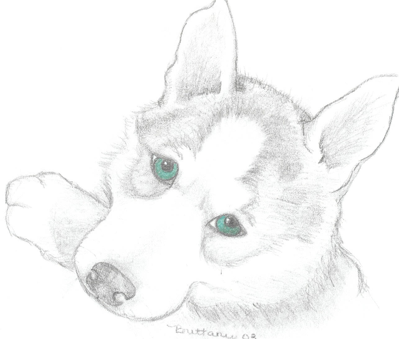 How To Draw A Husky Head Step By Apps Directories