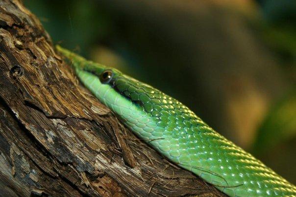 Snake 2 by Kalyandra