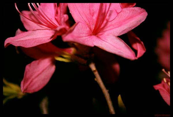 Bloom II by stellarr