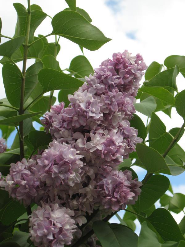 Lilacs by meguin