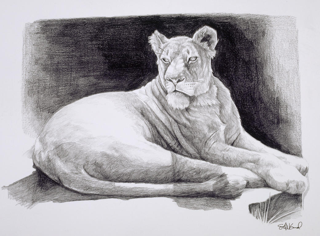 Lioness Study by stevegoad