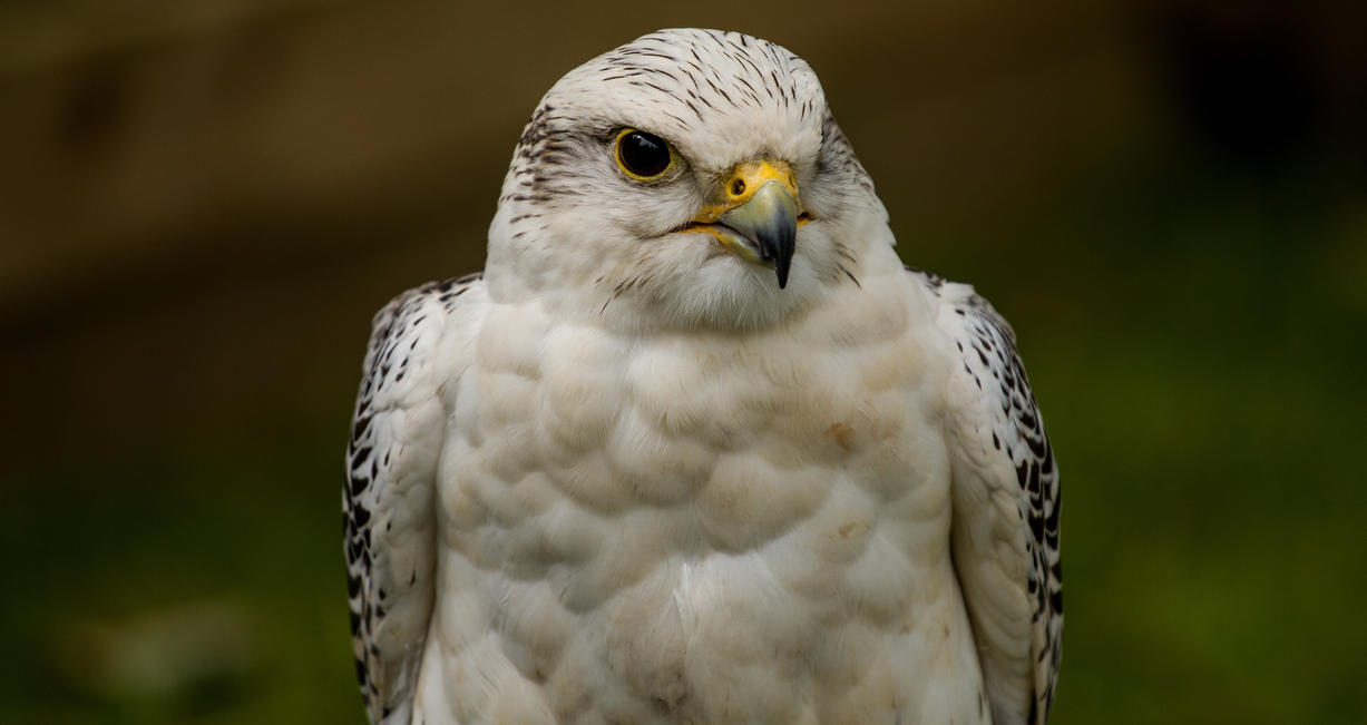 Lanner Falcon Hybrid by DundeePhotographics