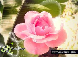 Rosa - fotografia em macro by skdanilo