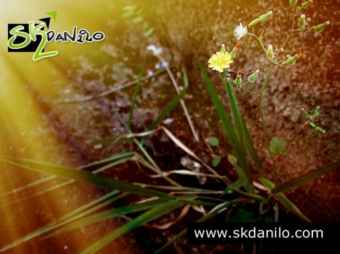 fotografia - dente de leao by skdanilo