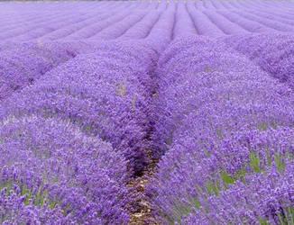 Lavender Dreams by Paddington-Owl