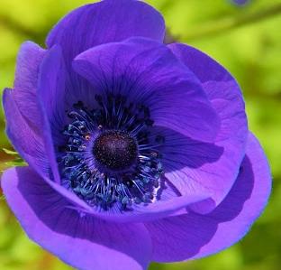 Purple Poppy by Paddington-Owl