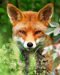 Dog Fox by noelholland