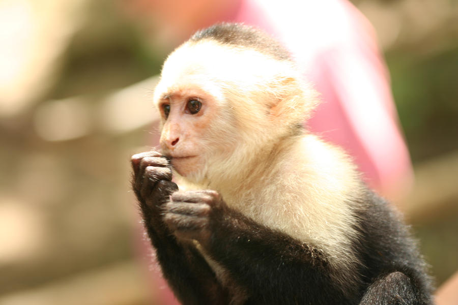 Buy a capuchin monkey online dating 6
