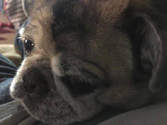 Pug Snuggles