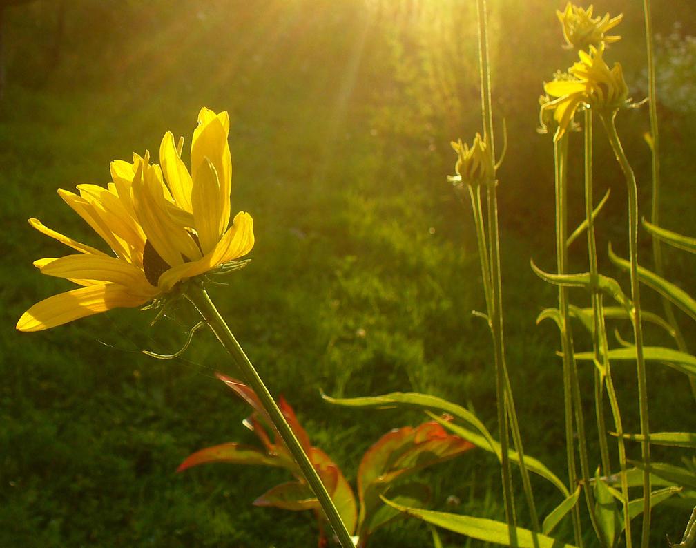 Sunlit Flower by PamplemousseCeil