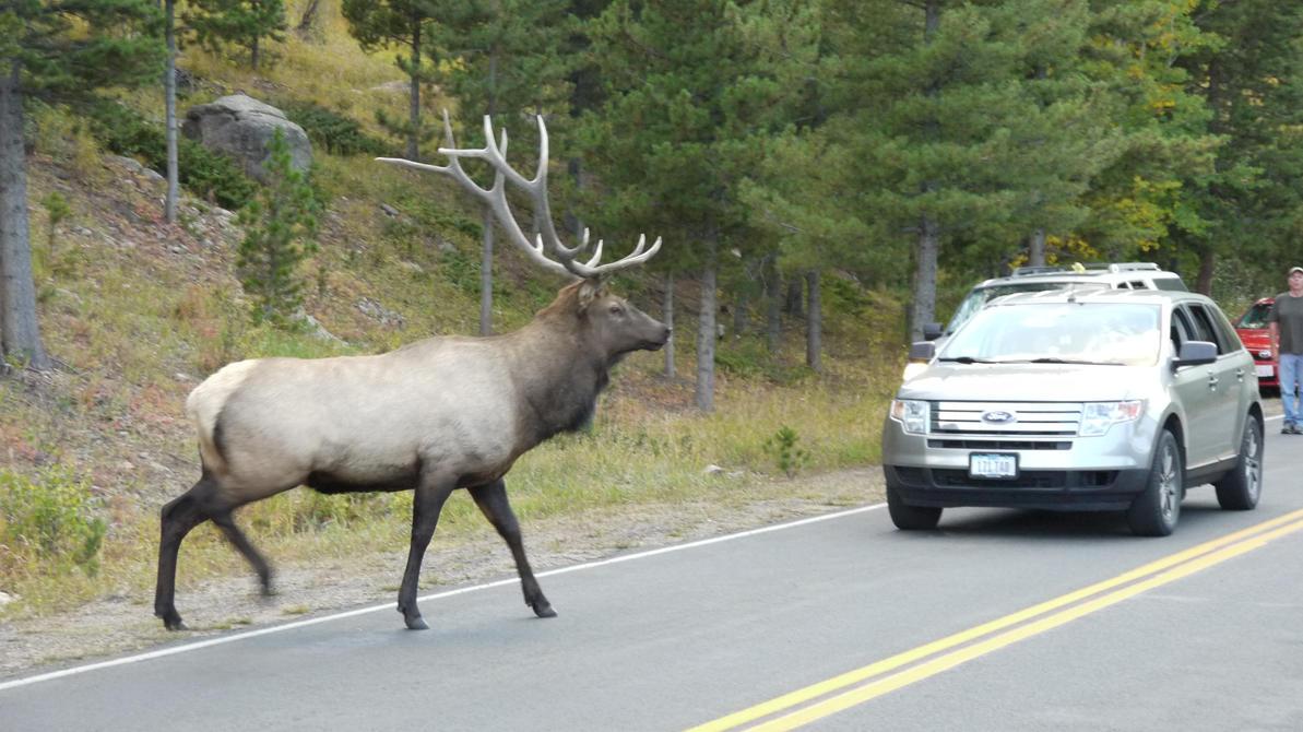 Roosevelt Elk, RMNP, Colorado by PamplemousseCeil
