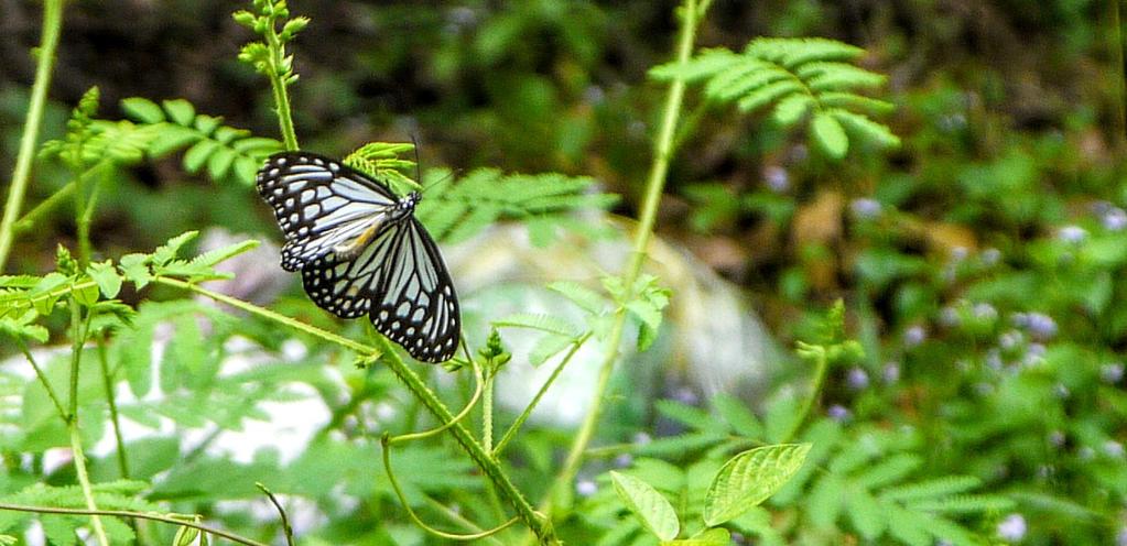 Butterfly, Vietnam by PamplemousseCeil