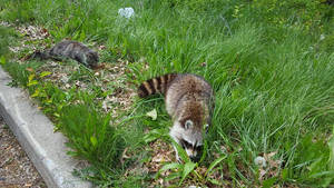 Unlikely Allies: Cat and Raccoon