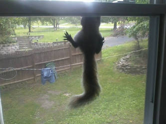 Squirrel Hanging from the Window