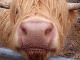 Cow by Zabzag