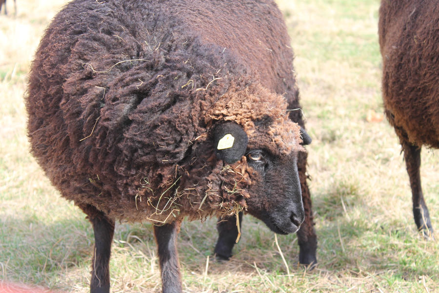 Strange brown sheep #2 by xXDropInTheOceanXx