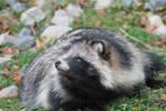 Raccoon Dog #2 by xXDropInTheOceanXx